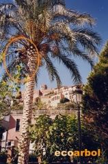 Poda palmera villafames (castellon)