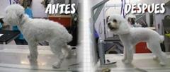 Antes y después de un caniche