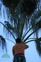 Ecoarbol de palmera benicasim y castellon