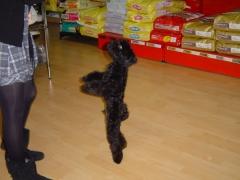 Caniche negro bailando