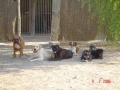 Algunos de nuestros perros: boxer, labrador y schnnauzer miniatura