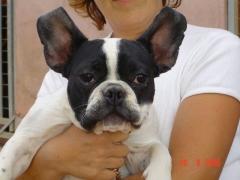 Este bulldog francés es cliente habitual de la residencia canina