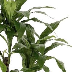 Planta artificial dracaena fragans 100 verde en lallimona.com detalle1