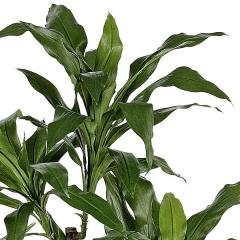 Planta artificial dracaena fragans 150 verde en lallimona.com detalle1