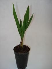 Jubaea chilensis