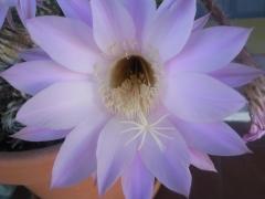 A veces en nuestro centro podemos ver las bellas flores de un día...
