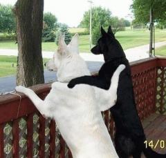 gossos YANG - YIN