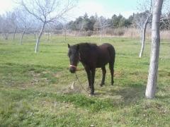 El caballo napoleón