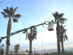 Trasplantes y podas de palmeras en aeropuerto de m�laga