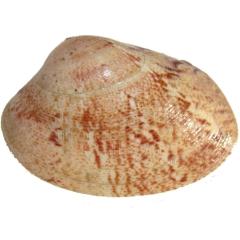 Almeja roja o rubia  www.rincondelgallego.com
