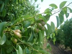 Abril 2011 - pera ercolini, primeros brotes