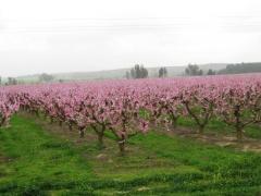 Marzo 2011 - nectarinos en flor.