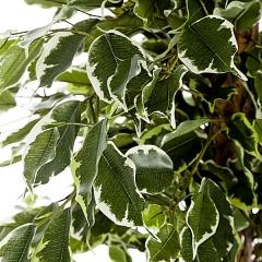 Arbol artificial ficus exotic 185 en lallimona.com (detalle 1)