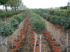 Arbustos en formato de copa