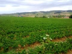 Plantacion de aipo-r�bano