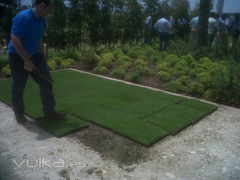 Foto ii jornada jardiner a tepes zoysia tenuifolia for Jardineria navarro
