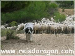 Cachorra mastín del pirineo aprendiendo a ser perro de guarda