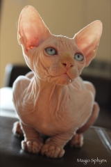 Gatito sphynx disponible
