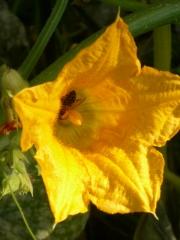 Flor de calabac�n