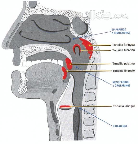 Foto: Anatomía de la Faringe