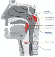 Anatom�a de la faringe