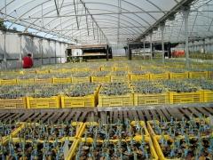 producci�n de aguacates clonados