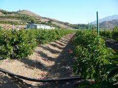 Plantaci�n intensiva de aguacates en V�lez-M�laga