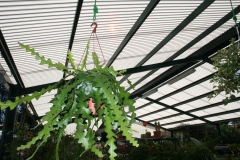 Un bello cactus colgante