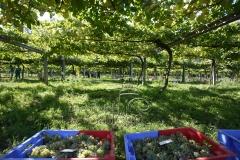 Vendimiando albariño   www.rincondelgallego.com
