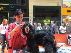 Concurso de peluquería canina. 2º premio en cocker
