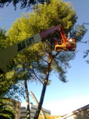 Poda de pinos en ciudad real en 2010