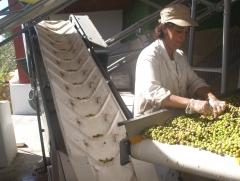Selecting the olives by hand (selección de las aceitunas a mano).