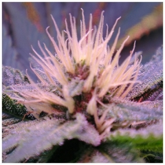 Blue mistyc nirvana www.sativagrowshop.com