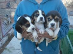 cachorros de beagle