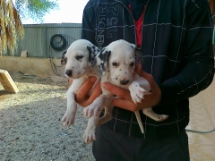 cachorros de dalmata