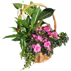 Bonita cesta de plantas. regalar plantas y enviar a domicilio.