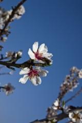 Flor de la almendra. agroindustrial ayerbe. productos naturales.