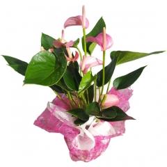 Planta de anthurium rosa para enviar a domicilio. envía plantas a domicilio en madrid.