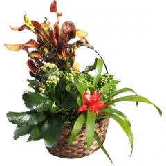 Cesta de plantas de interior. envía plantas a domicilio en madrid.