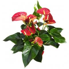 Planta de anthurium rojo para enviar a domicilio. regala plantas en madrid.