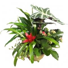 Cubo de metal de plantas de interior. envía plantas a domicilio en madrid.