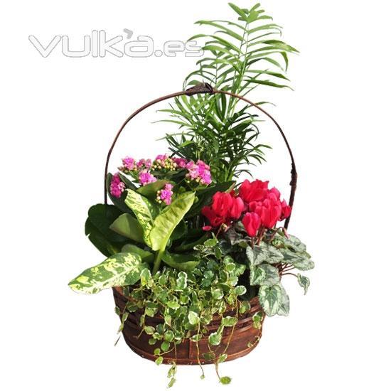 foto cesta de plantas de interior env a plantas a