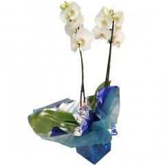 Bonita orquidea de dos varas. envía plantas a domicilio en madrid.