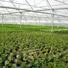 Invernadero ulma tipo multicapilla con mesas de cultivo