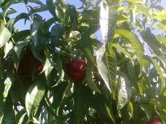 rama nectarina