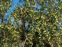 Aceitunas blanquetas