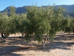 Olivos ecologicos en la finca  de Beniatjar