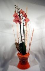 Phalaenopsis de cristal