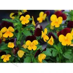 36 variedades de flores comestibles en diferentes formatos nuestro producto estrella