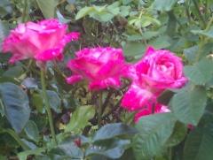 Rosales-terrazas